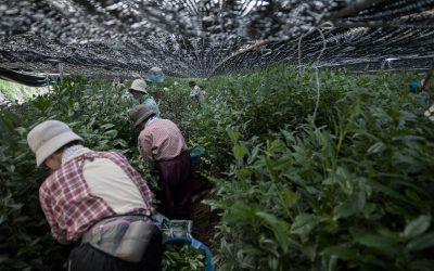Visite des plantations de thé à Uji et hospitalité japonaise
