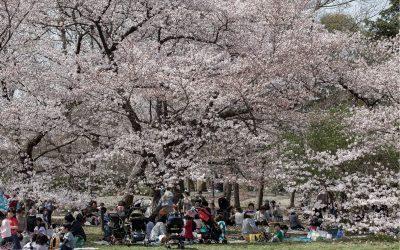 Le temps des cerisiers
